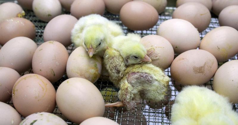 Vastakuoriutuneet kananpoikaset makaavat munien joukossa hautomossa.