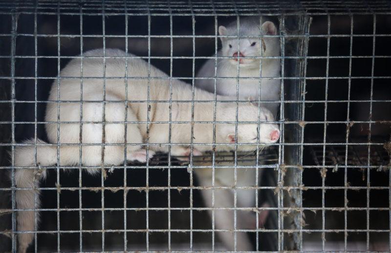 Kaksi valkoista minkkiä katselee turkistarhan häkissä.