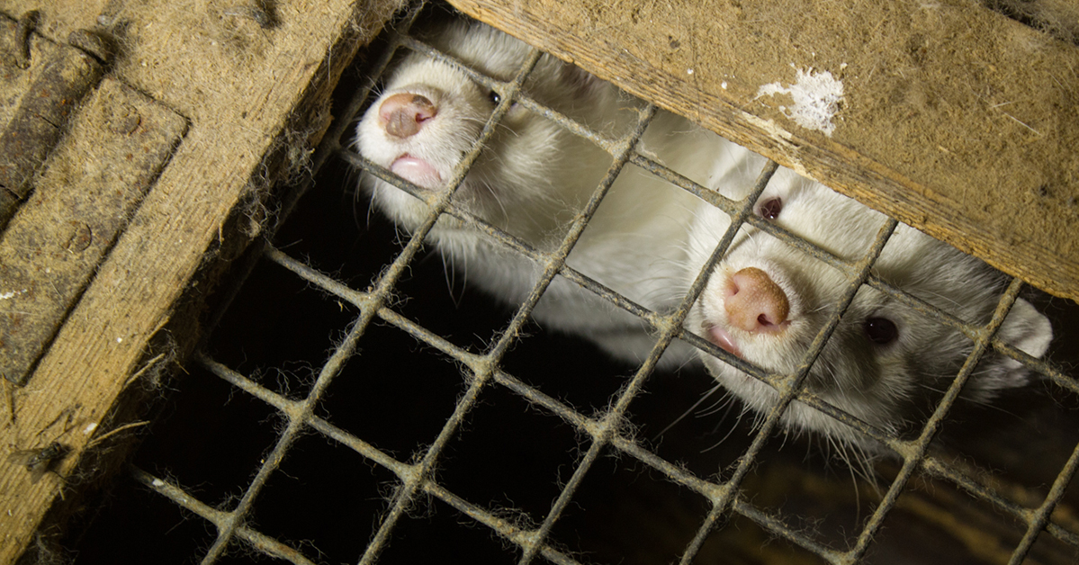 Finnish Fur Industry Attempts to Influence Norwegian Fur Ban with Misleading Claims. Image of two minks.