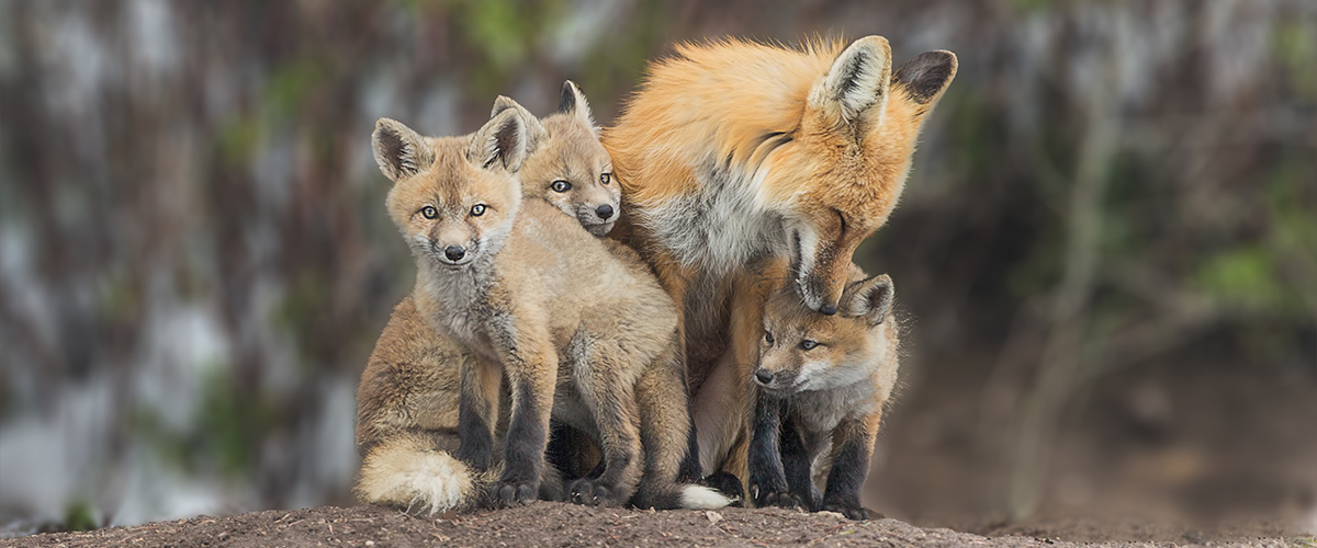 Red fox family living in the wild.