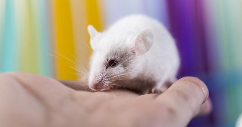 Valkoinen hiiri istuu ihmisen kämmenellä.