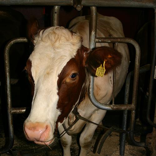Niskatukiparsi on yleinen parsikaluste Suomessa. Väärin asennettuna se voi hankaloittaa eläimen makuulle menoa sekä ylös nousemista.