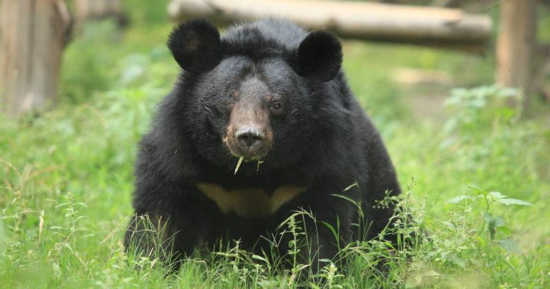 Sappikarhutarhasta pelastettu yksisilmäinen karhu ulkoilee turvakodin aitauksessa.
