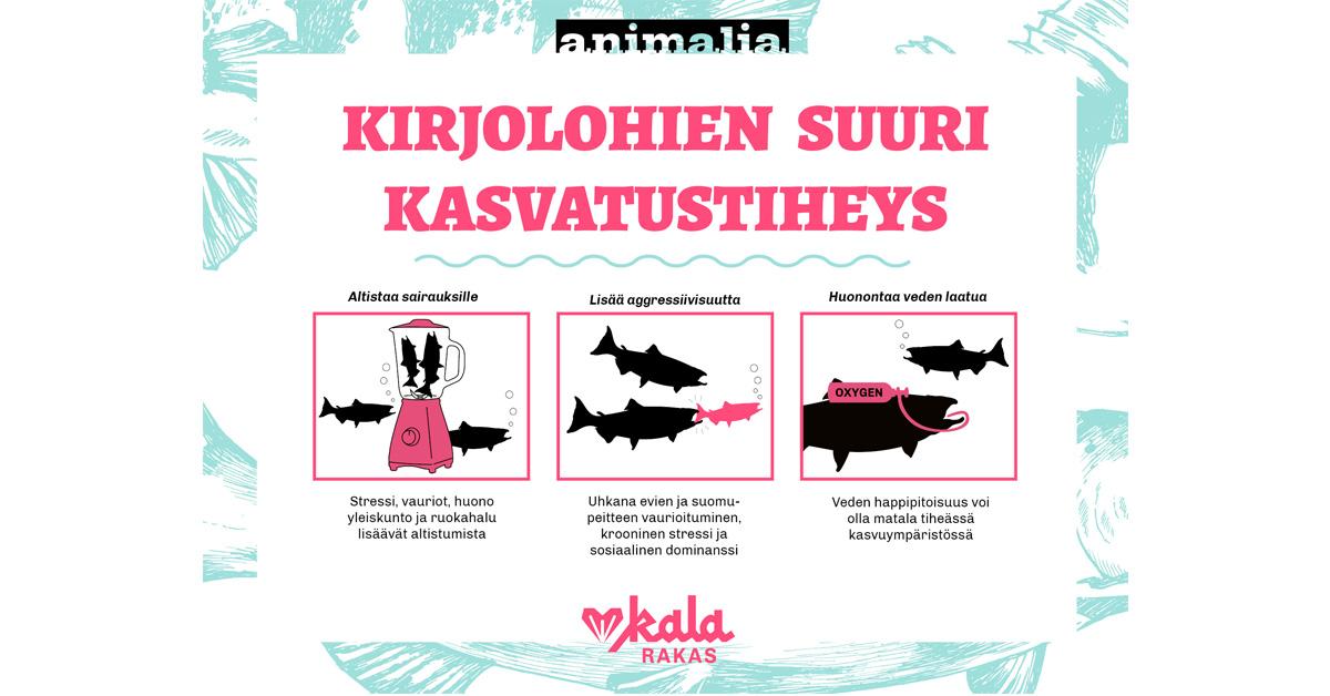 Infograafi kalojen suuresta kasvatustiheydestä, joka aiheuttaa sairauksia, aggressiivisuutta ja huonontaa veden laatua. Infograafin sisältö avataan tarkemmin tekstissä.