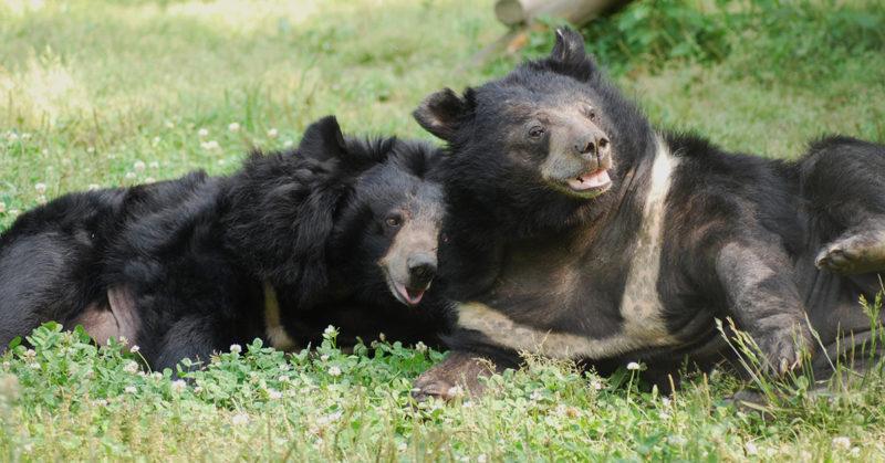 Kaksi sepelkarhua loikoilee vierekkäin nurmikolla. Väriltään karhut ovat mustia.