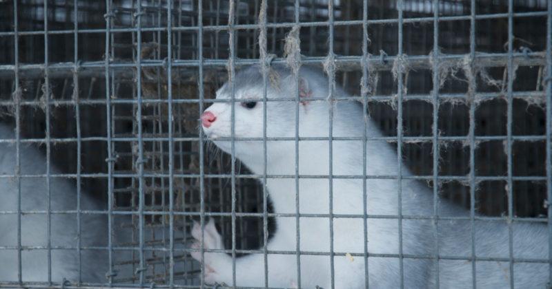 Vaalea minkki seisoo vasten häkin verkkoseinää ja katselee ulkopuolelle.