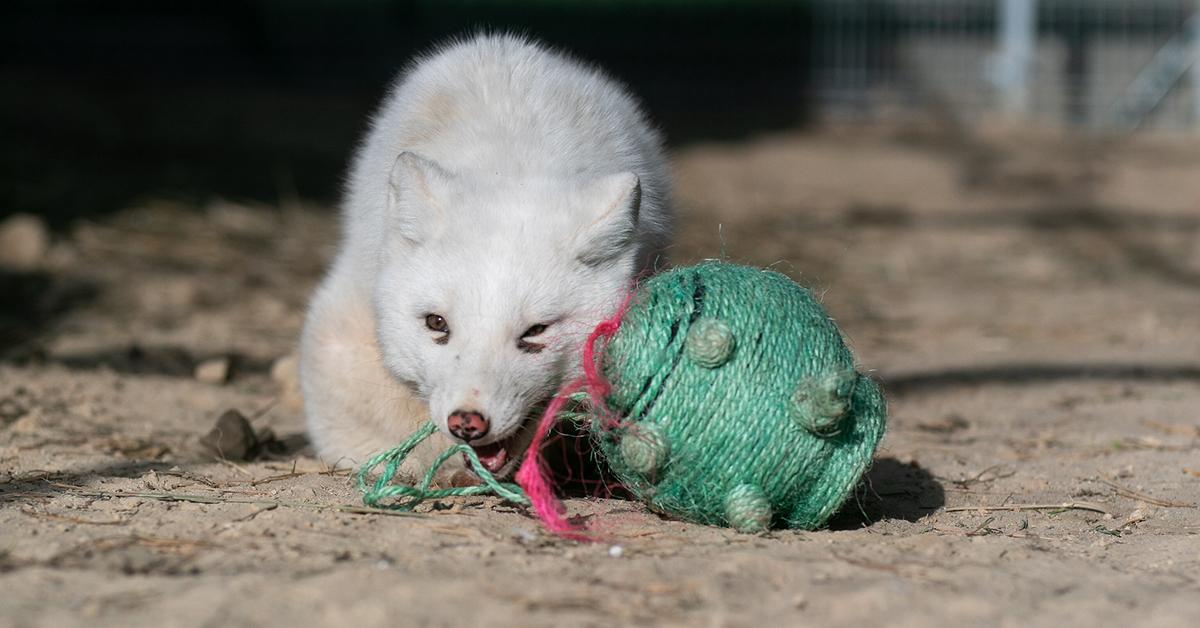Valkoinen kettu leikkimässä pyöreänmallisen nyörilelun kanssa. Kettu pureskelee lelusta lähtevää nyöriä.