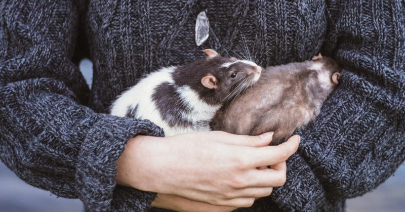 Eläinkokeiden käyttö ei saisi olla normi. Kuvassa naisen syleilyssä kaksi rottaa.