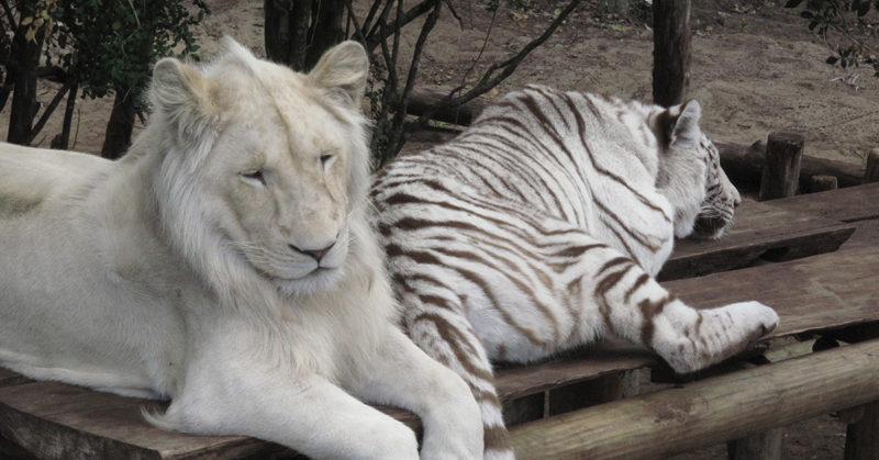 Valkoinen leijona ja valkoinen tiikeri makaavat lankkujen päällä. Metsästäjä voi varata etukäteen eläimet, jotka hän aikoo ampua.
