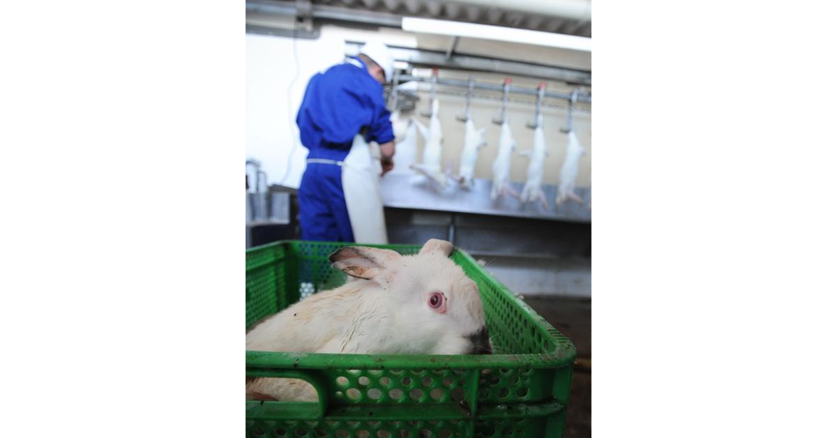 Elävä kani teuraslaatikossa odottamassa teurastustaan.