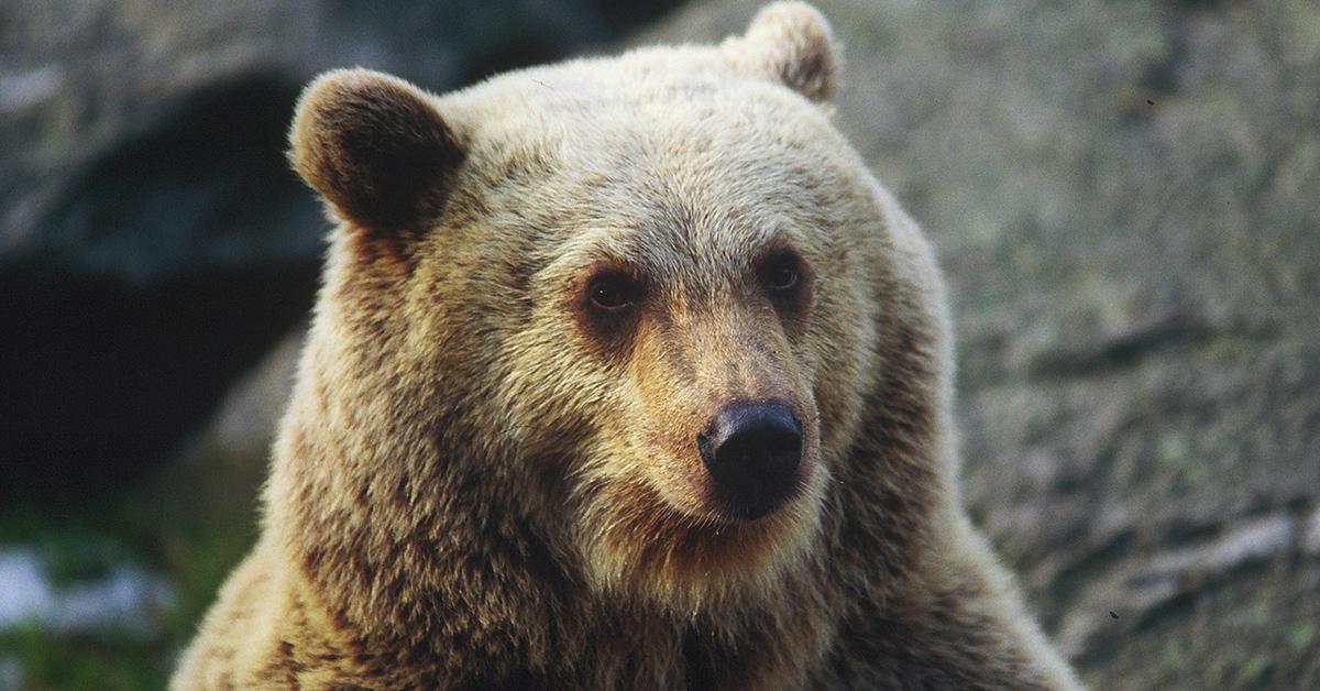 Lähikuva isokokoisen karhun naama.