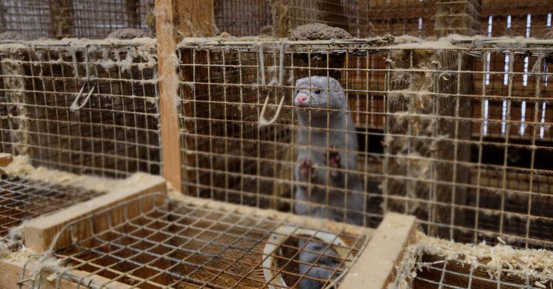 Oikeutta eläimille -järjestö kuvaama minkki häkissä suomalaisella turkistarhalla.