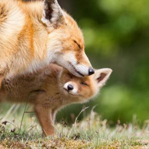 Ketunpoikanen ja emo ovat lähellä toisiaan. Ne elävät vapaana luonnossa.