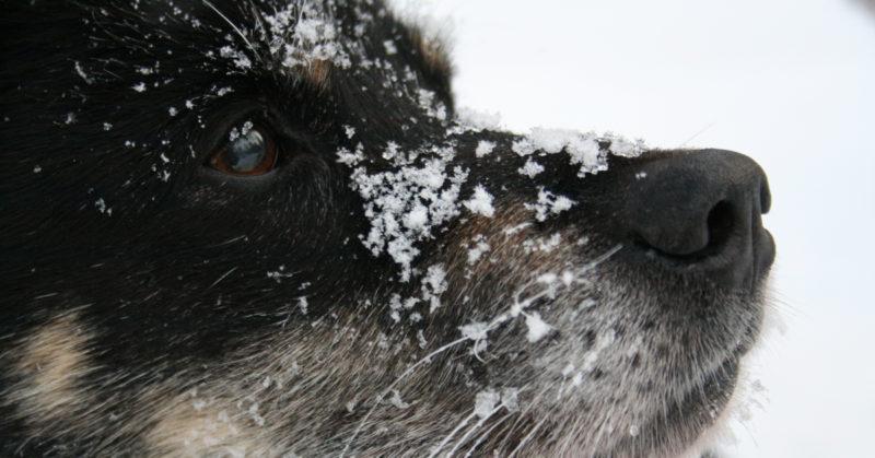 Eläimenä olemisen ihmeellisyys. Kuvassa koira nuuskii ilmaa ja sen nenän päällä on lunta.