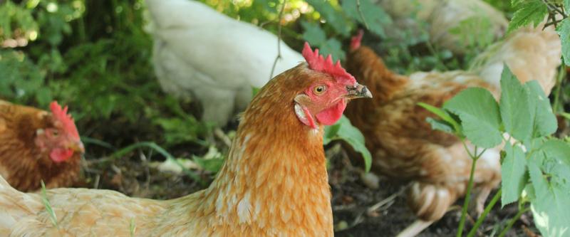 Jalostus ei muuta käyttäytymistä – kanat kaipaavat tilaa ja tutkittavaa. Kuvassa kana kotipihalla.