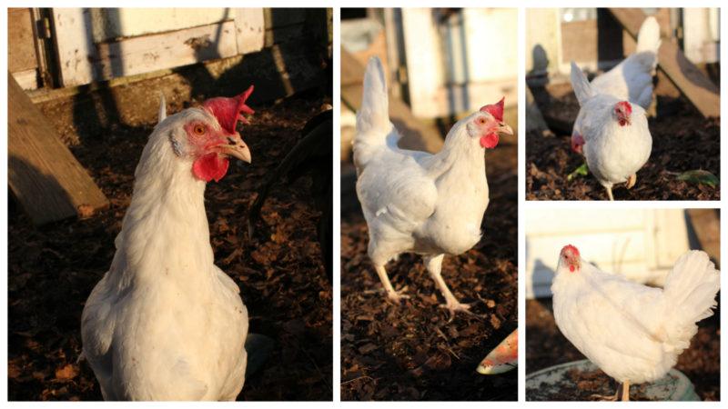 Onnekkaan kananelikon toinen elämä. Kuvassa juuri luomukanalasta saapunut kana.