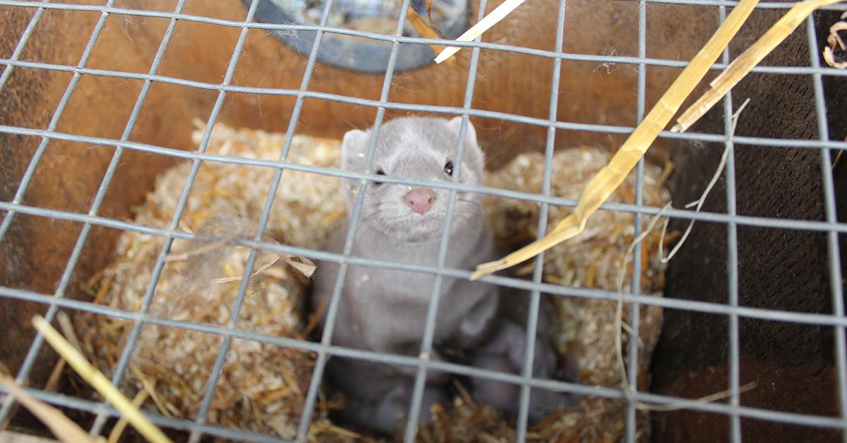 Valokuvassa minkki poikasineen, Se elää verkkopohjaisessa häkissä ilman mahdollisuutta juuri mihinkään lajityypillisen tarpeen toteuttamiseen.
