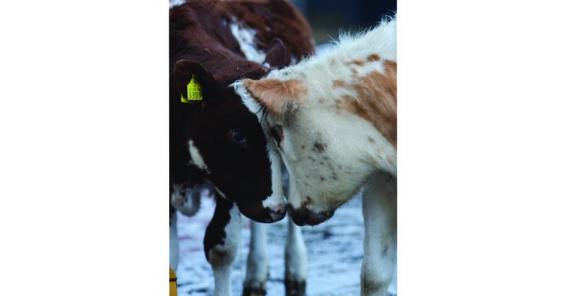 Eläinsuojelukeskus Tuulispäässä asustavat härät Late ja Nunnu tykkäävät puskea toisiaan.