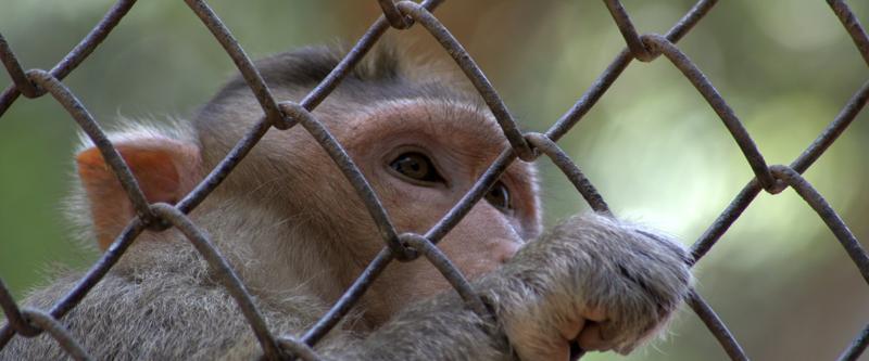 Vangittujen eläinten vapauttaminen oikeusteitse. Kuvassa vankeudessa elävä apina.
