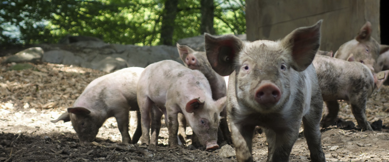 Huonoimmat argumentit eläinten oikeuksia vastaan. Kuvassa sikoja ulkona.