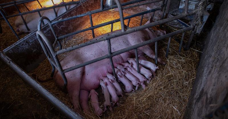 Emakko porsimishäkissä. Häkin ulkopuolella on porsaita. Häkissä emakko ei mahdu kääntymään ympäri.