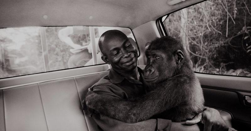 Rescued from Bush Meat Trade, Kamerun 2009. Apinanhoitaja Appolinaire Ndohoudou sylissään 6-vuotias gorilla Pikin.