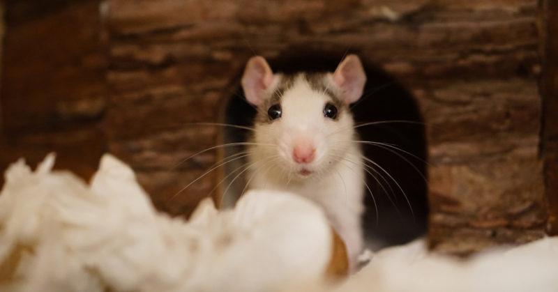 Rotta kurkistaa ulos häkkinsä pesäkopista.