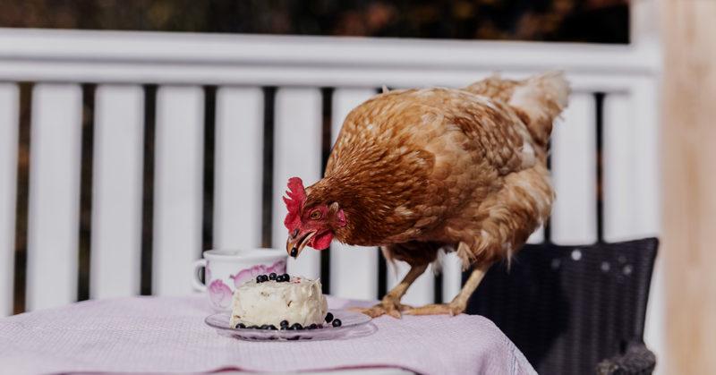 Saparomäen kana-asukas Hilda-Elviira herkuttelee häntä varta vasten tehdyllä kakulla. Hilda-Elviira on hypännyt ruokapöydän päälle syömään.