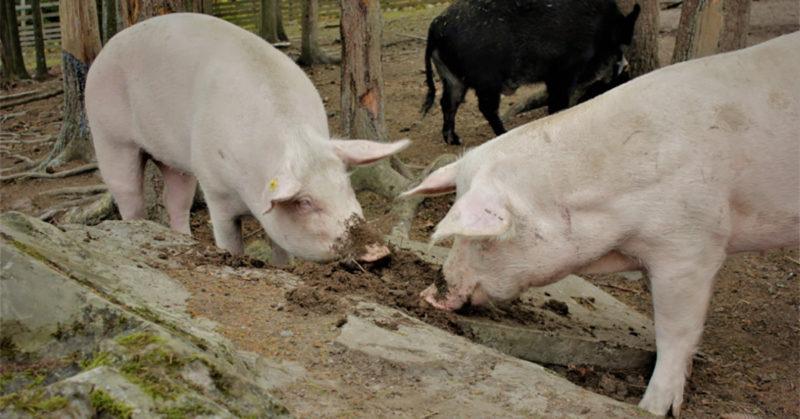 Tuulispään sika-asukkaat Siiri ja Saara tonkimassa pihamaalla.