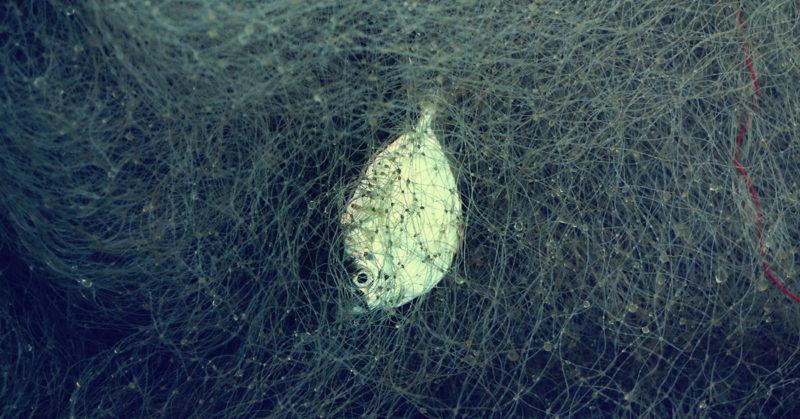 Kivutta eläköön kala? Kuvassa kala tarttuneena verkkoon.