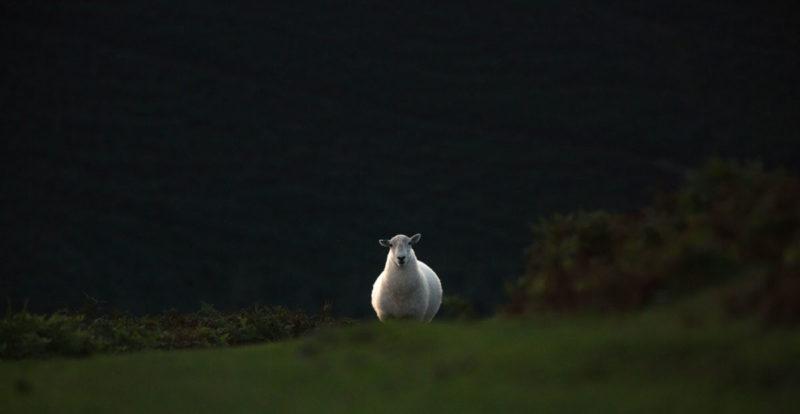 Ratkaisevan tärkeä ääni. Kuvassa yksinäinen lammas pellolla.