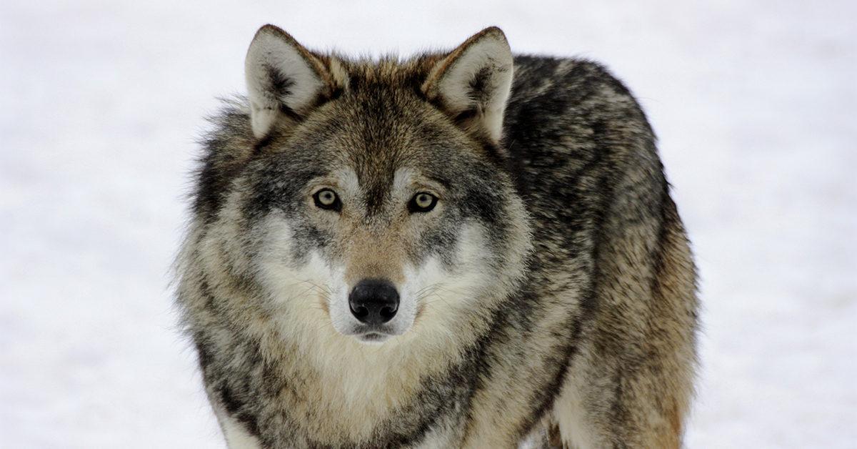 Pöyheäturkkinen susi katsoo suoraan kameraan.