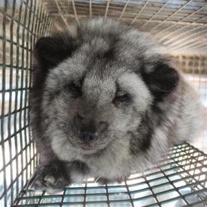 Sinikettu eli naali verkkopohjaisessa metallihäkissä. Kettu makaa häkissä olevassa makuuhyllyssä.
