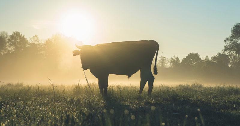 Valtaosa eläinpoliittisen vaalikoneen vastaajista kannattaisi ruokajärjestelmän muutosta. Kuvassa nauta pellolla auringonlaskussa.