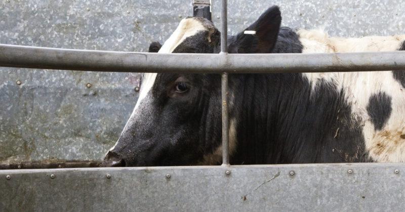 Eläinten oikeuksista täytyy puhua lapsillekin. Kuvassa nauta tuotantolaitoksessa.