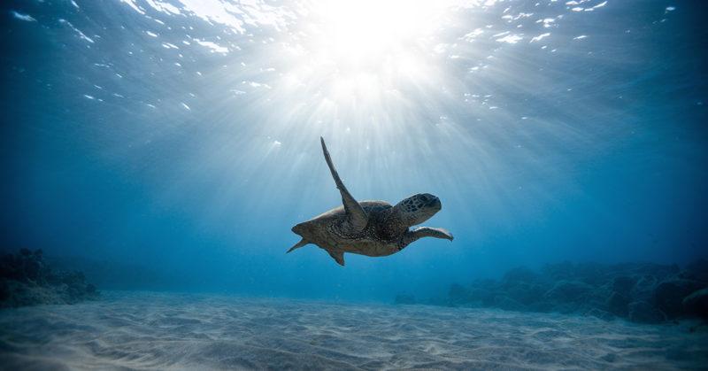 Merikilpikonna ui turkoosissa meressä.