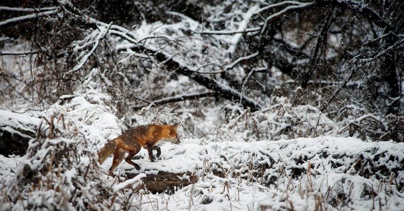 Turkiksella ei ole paikkaa muodin tulevaisuudessa. Kuvassa kettu vaeltaa talvisessa metsässä.