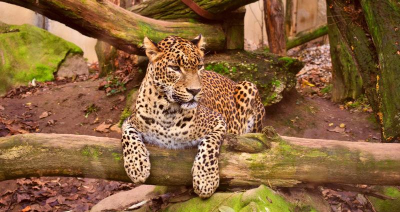 Leopardi makaa puunrungon päällä eläintarhassa.