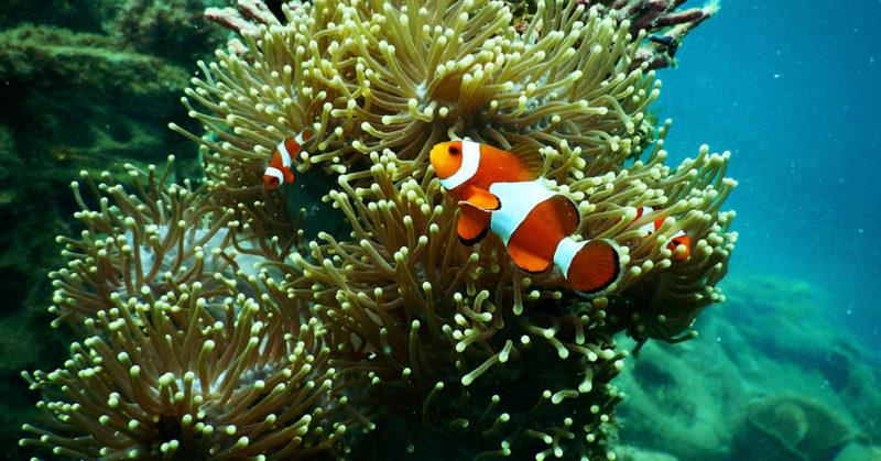 Kalojen uskomattomat kyvyt. Kuvassa vuokkokala korallien seassa.