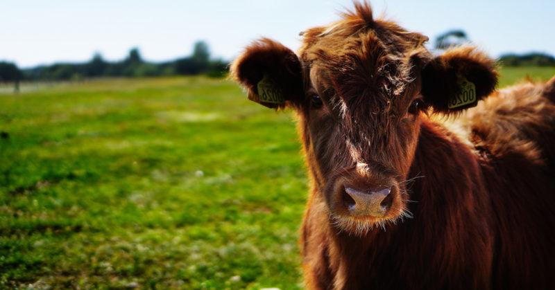 Hallituksen kaatuminen pysäytti eläinlain. Kuvassa nauta laitumella.