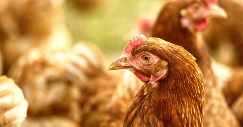 Ruskeat kanat ovat ulkoilemassa.