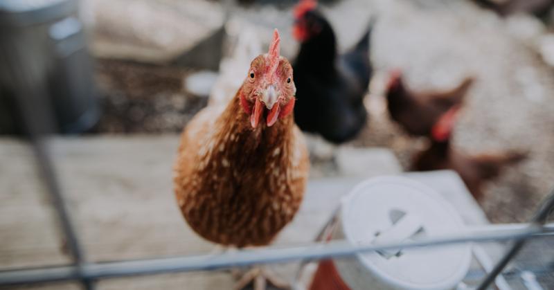 10 virheellistä tai harhaanjohtavaa väitettä eduskunnan eläinlakiväittelyssä. Kuvassa kana katsoo kohtisuoraan kameraan.