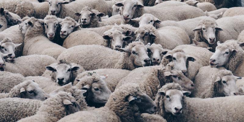 Lauma lampaita seisoo tiiviisti yhdessä.
