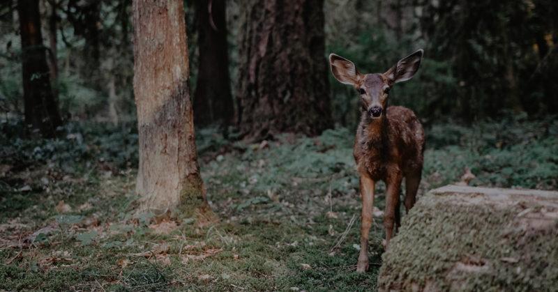 Valkohäntäpeura metsässä.