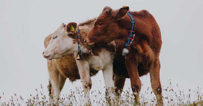 Kaksi nautaa vierekkäin niityllä. Näyttää siltä, kuin ne halaisivat toisiaan.
