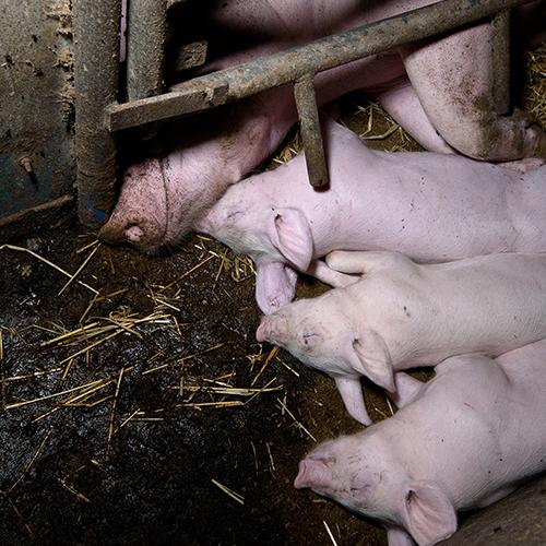 Häkki estää luonnollisen emo-porsassuhteenkehittymisen. Kuva: Oikeutta eläimille.