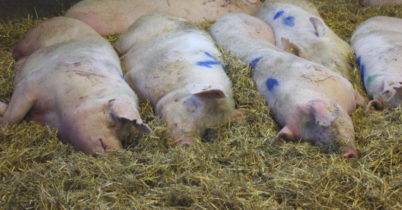 Ryhmä emakoita makaa oljilla karsinassa.