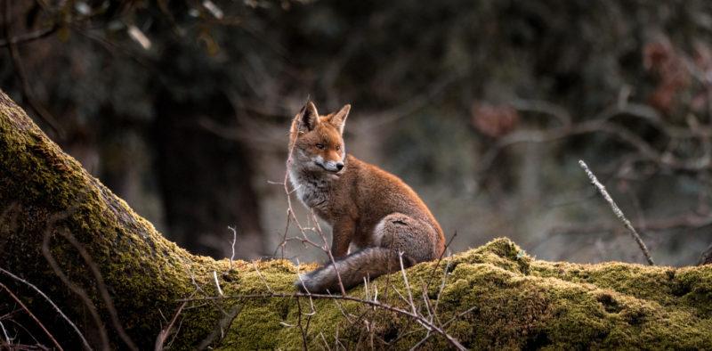 Kettu istuu sammaleisen kiven päällä metsässä.
