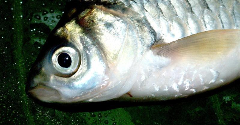 SM-pilkki muutti sääntönsä takaisin – kalan saa jättää kärsimään. Kuvassa kala kuivalla maalla.