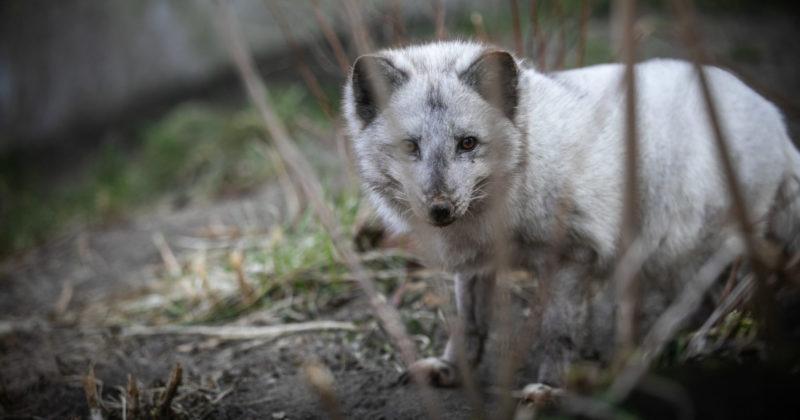 A blue fox in an animal sanctuary.